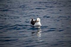 En stor seagull som svävar i havet arkivbild