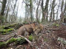 En stor Sika hjortfullvuxen hankronhjort Fotografering för Bildbyråer