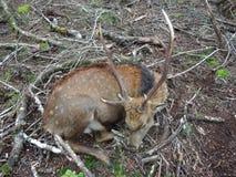 En stor Sika hjortfullvuxen hankronhjort Royaltyfria Foton