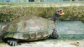 En stor sköldpadda med munnen öppnade royaltyfria bilder