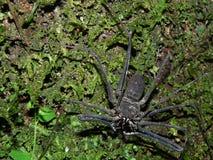 En stor skorpionspindel på ett träd i Amazonen av Ecuador royaltyfria bilder