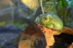En stor slät grön groda med orange ögon ligger på en filial i en terrarium Den fylliga grodan håller ögonen på och ler royaltyfri fotografi