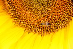 En stor solros med härliga gula kronblad På hjärtan av blomman är ett bi Arkivbild
