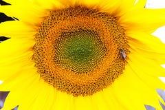 En stor solros med härliga gula kronblad På hjärtan av blomman är ett bi Arkivbilder