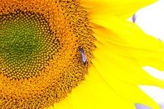 En stor solros med härliga gula kronblad På hjärtan av blomman är ett bi Royaltyfri Fotografi