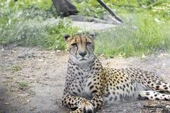En stor stående av en gepard, skott från ett långdistans-, Royaltyfri Bild