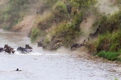 En stor ström av herbivor över floden kenya mara masai royaltyfri foto