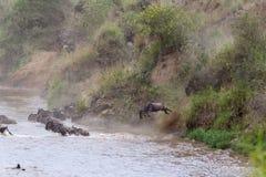 En stor ström av herbivor över Mara River i Kenya Masai Mara, Afrika arkivbilder