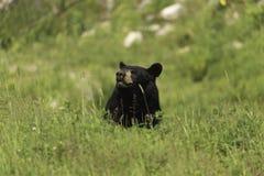 En stor svart björn i ett gräs- fält Royaltyfri Bild
