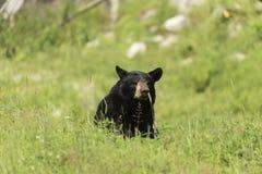 En stor svart björn i ett gräs- fält Royaltyfria Foton