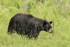 En stor svart björn i ett gräs- fält Arkivbild