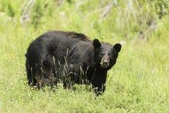 En stor svart björn i ett gräs- fält Arkivfoton