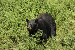 En stor svart björn i ett gräs- fält Royaltyfri Fotografi