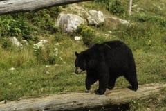 En stor svart björn i ett gräs- fält Fotografering för Bildbyråer