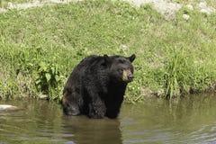 En stor svart björn i något vatten Arkivbilder