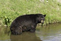 En stor svart björn i något vatten Fotografering för Bildbyråer