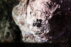 En stor svart myra med den öppnade jätten snackar se raka forewards på dig Ordna till för att bita Arkivbild