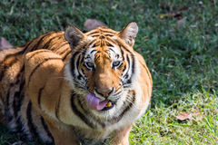 En stor tiger ser mig direkt Arkivbild