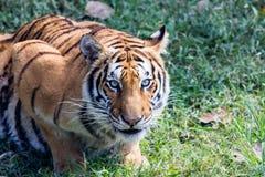En stor tiger ser mig direkt Fotografering för Bildbyråer