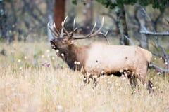 En stor tjurälg som bugling för hindar Royaltyfri Foto