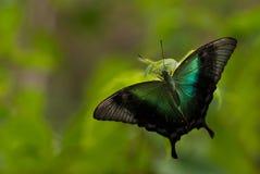 En stor tropisk exotisk fjäril med svart vecklade ut vingar och lite turkosfärg på dess vingar, mot en bakgrund av gre Fotografering för Bildbyråer