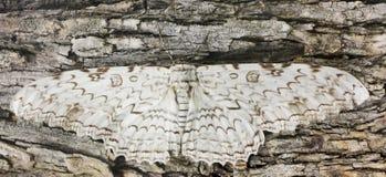 En stor uggleungemal väntar orörligt på skäll Royaltyfri Bild