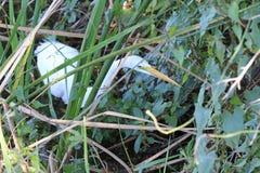 En stor vit ägretthäger i träsket Arkivbild