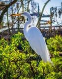 En stor vit häger i Orlando, Florida royaltyfri bild