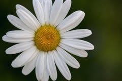 En stor vit och gul chamoile blomma på en solig dag för sommar Arkivfoton