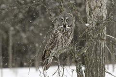 En stora Grey Owl i ett träd Royaltyfri Fotografi