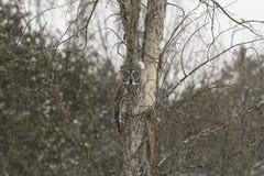 En stora Grey Owl i ett träd Fotografering för Bildbyråer