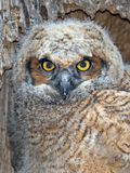 En stora Horned Owl Owlet Close upp Arkivbild