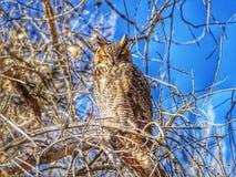 En stora Horned Owl Sits i solen på sjöPueblodelstatsparken, Colorado Royaltyfria Bilder