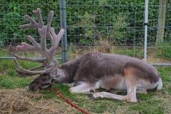 En storartad ren med mycket stort ligga för horn på kronhjort äger Royaltyfri Bild