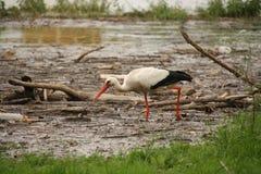 En stork nära floden Neckar, arkivbild