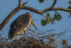 En storkfågel Royaltyfri Fotografi