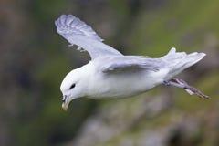 En stormfågelglidljud på vinden längs en klippa på Shetland öar royaltyfri fotografi