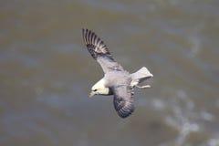 En stormfågelglidning på thermalsna royaltyfria foton