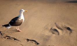 En strand för seagullst Santa Monica, Los Angeles Fotografering för Bildbyråer