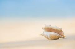 En strand med snäckskalet av lambistruncataen på sanden Tropiskt p Arkivbild