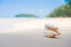 En strand med snäckskalet av lambistruncataen på våt sand Tropiskt p Arkivfoto
