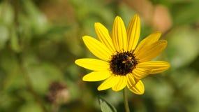 En strandsolros får pollenated Arkivfoto