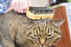 En strimmig kattkatt ligger och tycker om, n?r den kammas och kammas royaltyfri bild