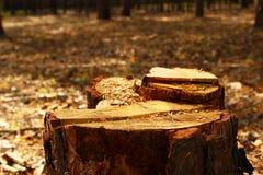 En stubbe av trädcloseupen i en skog Royaltyfri Foto