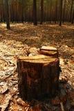 En stubbe av trädcloseupen i en skog Royaltyfria Bilder