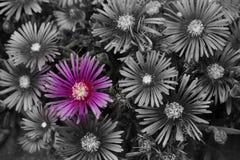 En studie av aster i svartvitt med en färgrik vridning arkivfoton
