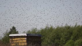En svärm av bin lager videofilmer