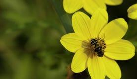 En svävandefluga på blomman Arkivfoto