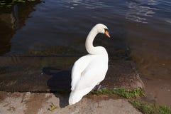 En svan i hans naturliga environement: vatten sjö Royaltyfri Bild