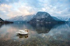 En svan i sjön av Hallstatt Österrike fotografering för bildbyråer